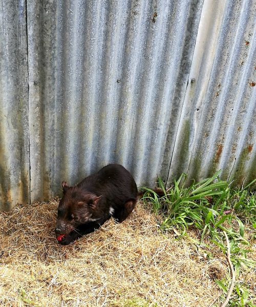 The Tasmanian Devil Unzoo