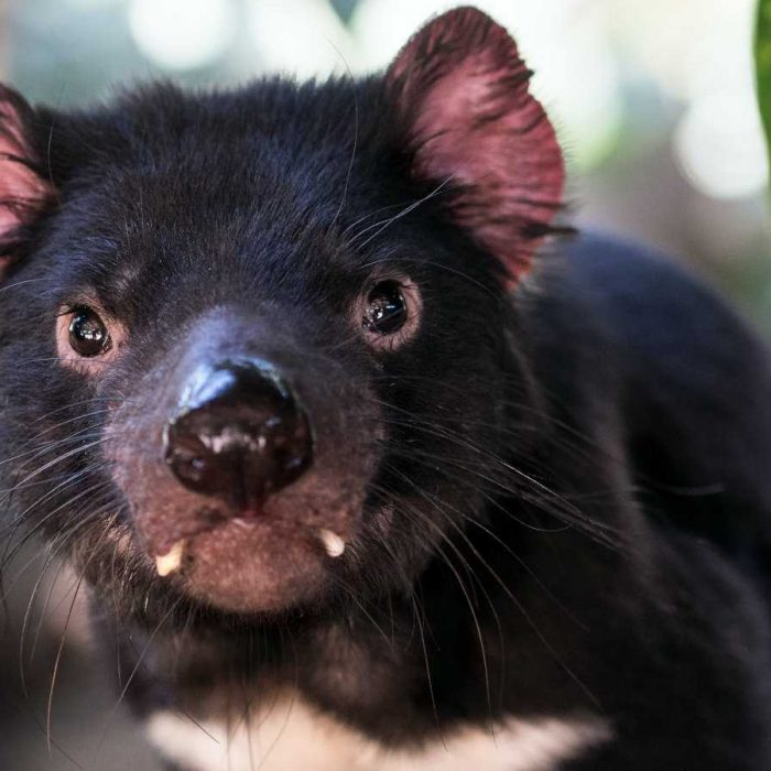 A guide to all the places in Tasmania where you are guaranteed to see some Tassie Devils!