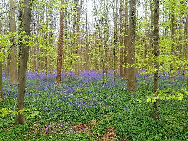 The Forest of Hallerbos in Belgium