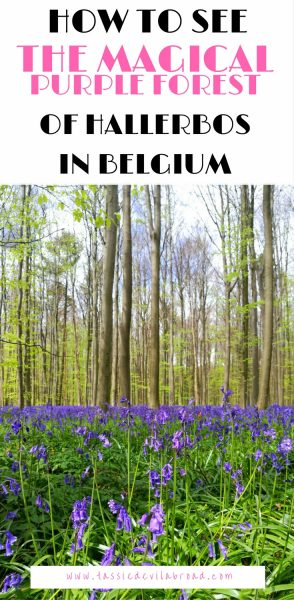 How to see The Magical Purple Forest of Hallerbos in Belgium