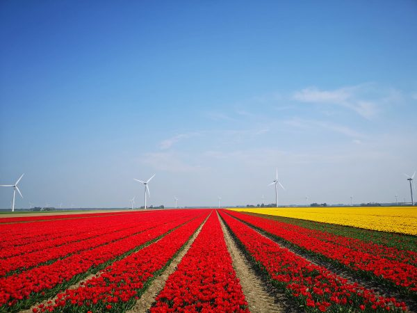 How to see tulips in the Netherlands away from all the tourist crowds!